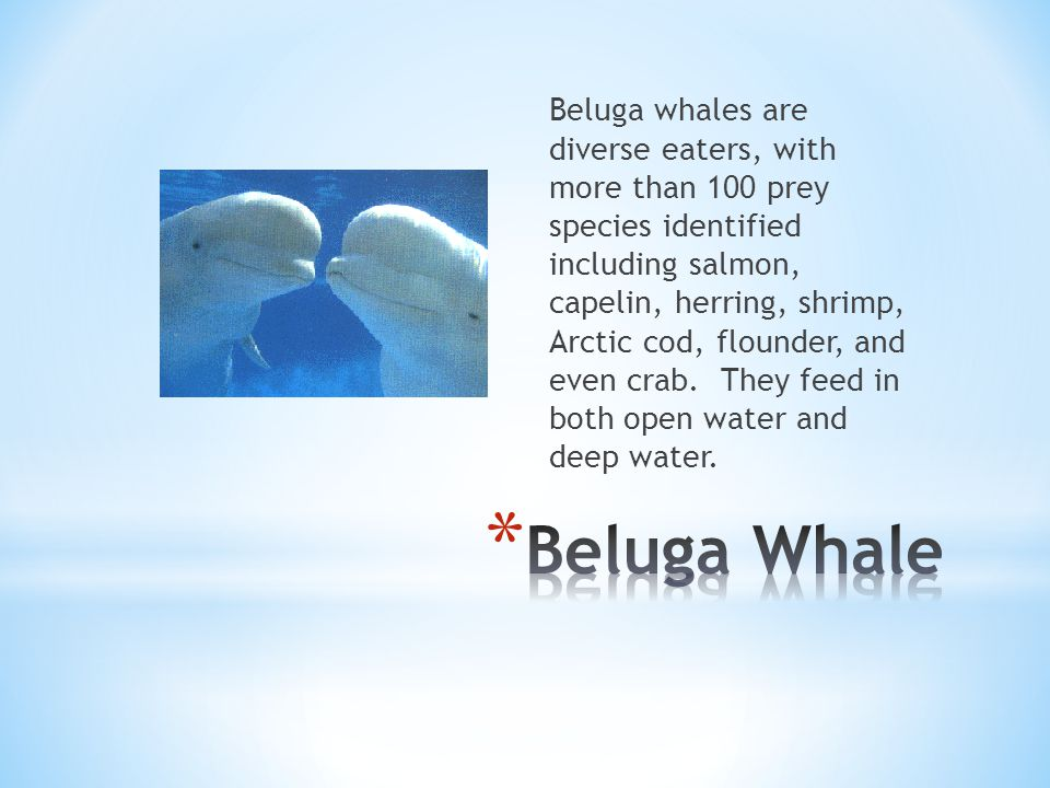 * The Blue Whale eats shrimp, fish, and squid, and other things in the sea or ocean.