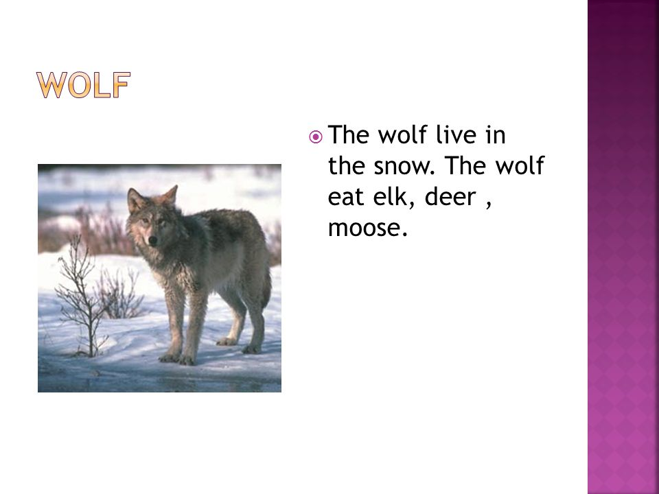  The wolf live in the snow. The wolf eat elk, deer, moose.