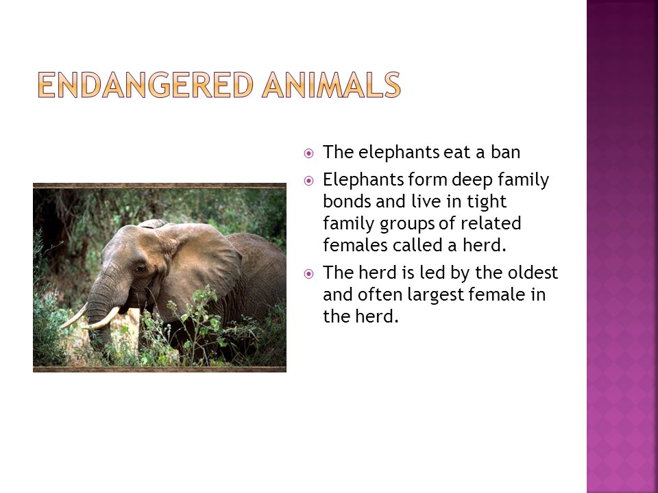  The elephants eat a ban  Elephants form deep family bonds and live in tight family groups of related females called a herd.