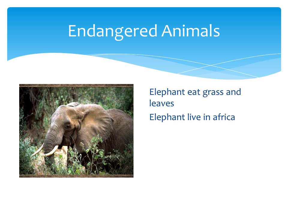 Endangered Animals Elephant eat grass and leaves Elephant live in africa
