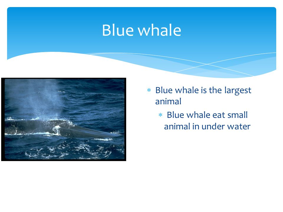 Blue whale  Blue whale is the largest animal  Blue whale eat small animal in under water