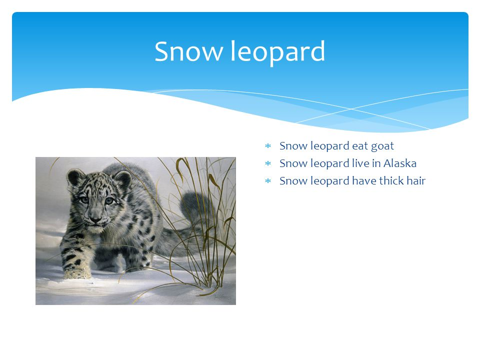 Snow leopard  Snow leopard eat goat  Snow leopard live in Alaska  Snow leopard have thick hair