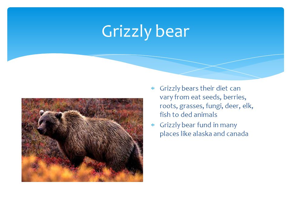 Grizzly bear  Grizzly bears their diet can vary from eat seeds, berries, roots, grasses, fungi, deer, elk, fish to ded animals  Grizzly bear fund in many places like alaska and canada