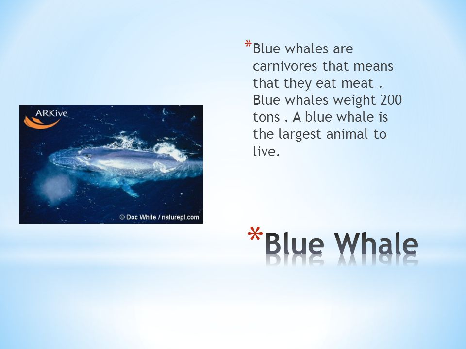 * Blue whales are carnivores that means that they eat meat.