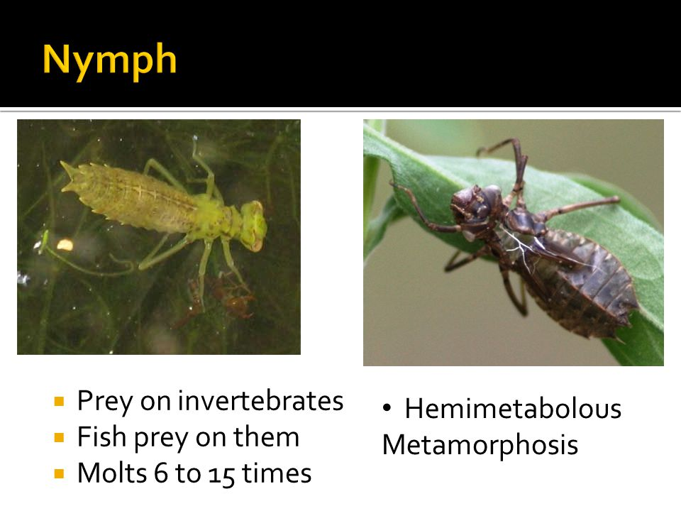  Prey on invertebrates  Fish prey on them  Molts 6 to 15 times Hemimetabolous Metamorphosis