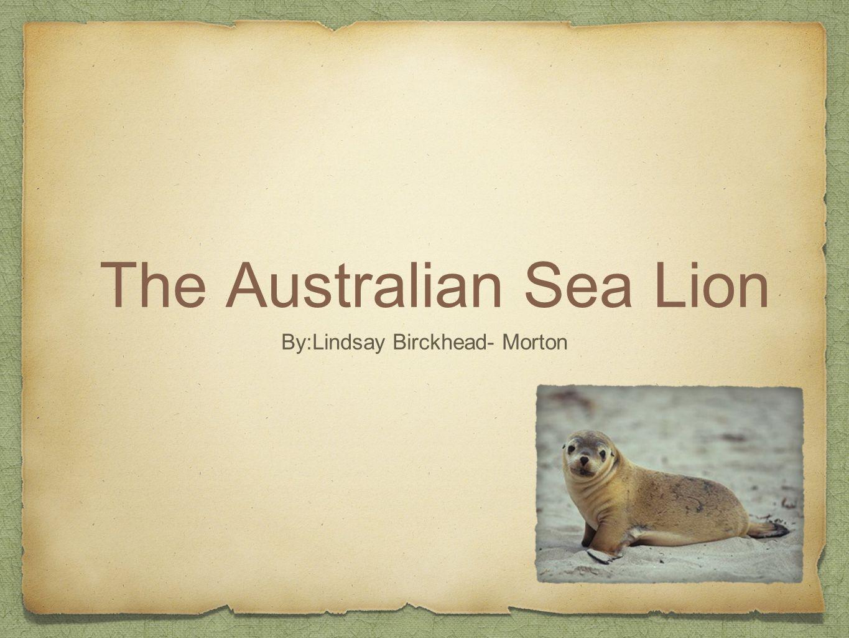 The Australian Sea Lion By:Lindsay Birckhead- Morton