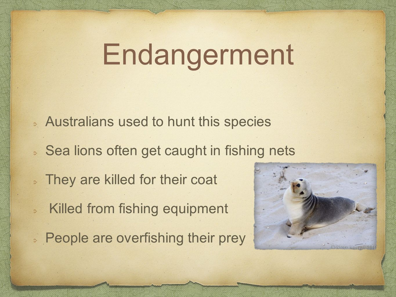 Endangerment Australians used to hunt this species Sea lions often get caught in fishing nets They are killed for their coat Killed from fishing equipment People are overfishing their prey