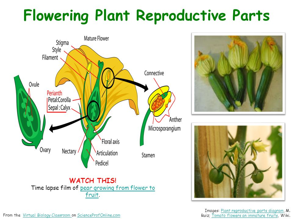 Flowering Plant Reproductive Parts Images: Plant reproductive parts diagram, M.