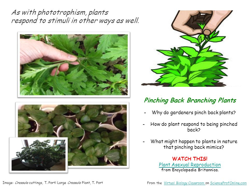 As with phototrophism, plants respond to stimuli in other ways as well. From the Virtual Biology Classroom on ScienceProfOnline.comVirtual Biology Cla
