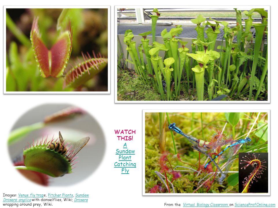 Images: Venus fly traps, Pitcher Plants, Sundew Drosera anglica with damselflies, Wiki; Drosera wrapping around prey, Wiki.Venus fly trapPitcher Plant