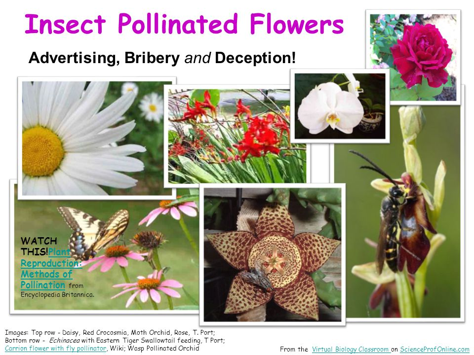 Insect Pollinated Flowers From the Virtual Biology Classroom on ScienceProfOnline.comVirtual Biology Classroom ScienceProfOnline.com Images: Top row -