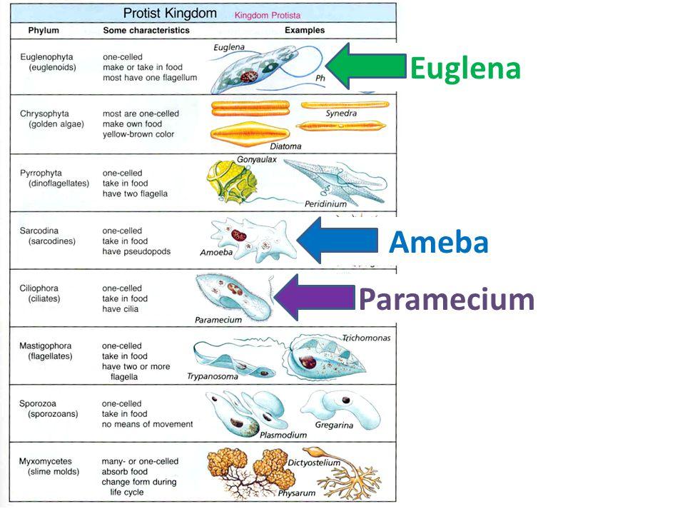 Remember Paramecium – Looks like a slipper – Cilia Ameba – Looks like a blob – Pseudopods Euglena – Greener – Animal-like and plant-like