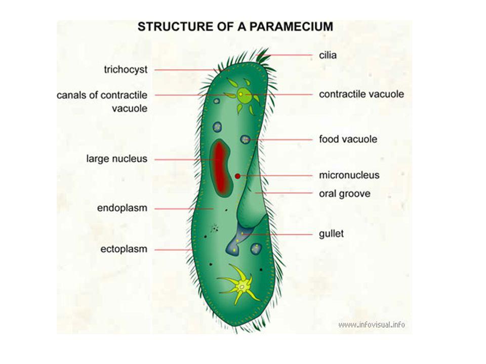 Nutrition Ingestion – Cilia – Pseudopods false feet Phagocytosis Digestion – Food vacuole Egestion – Contractile vacuole – Food vacuole