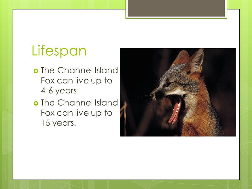 Physical Characteristics  The Channel Island Fox can get up to 2.3-3.1 ft.