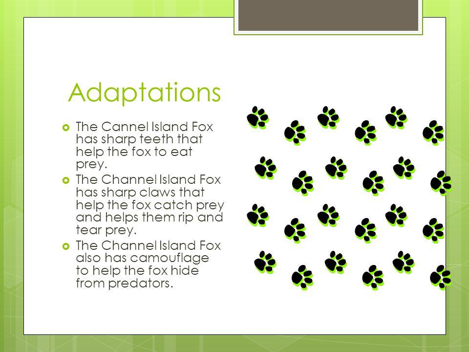 Habitat/Range  The Cannel Island Fox can live in Santa Cruz Island, San Miguel Island, Santa Rose Island, and the Santa Catalina Island.