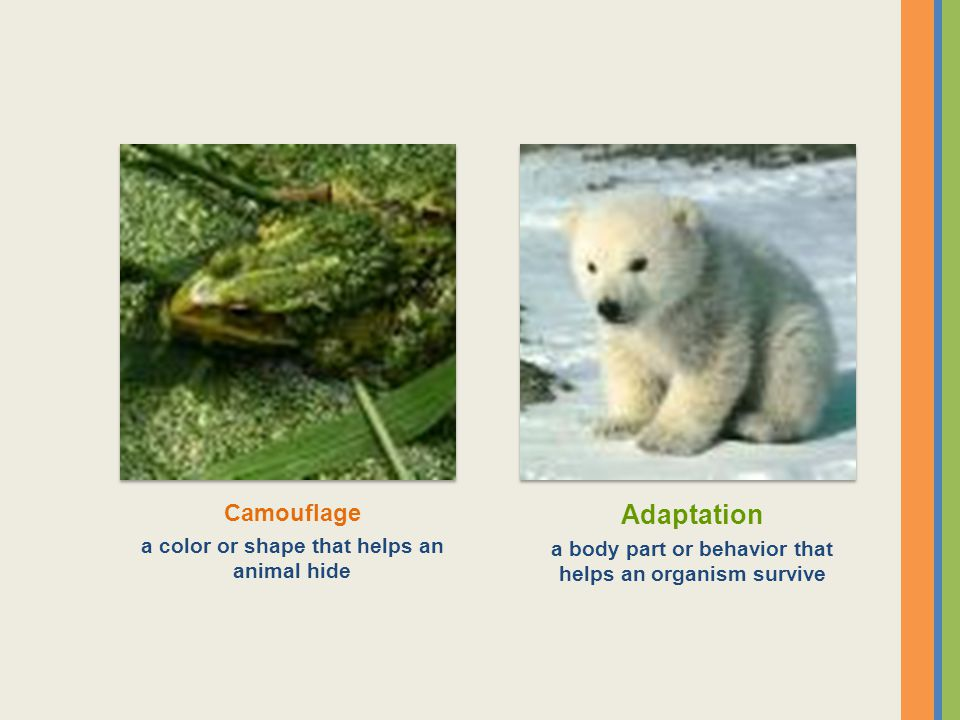 Adaptation a body part or behavior that helps an organism survive Camouflage a color or shape that helps an animal hide