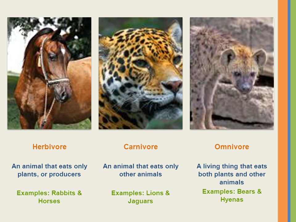 Herbivore An animal that eats only plants, or producers Examples: Rabbits & Horses Carnivore An animal that eats only other animals Examples: Lions &