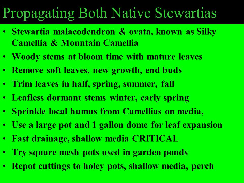 Propagating Both Native Stewartias Stewartia malacodendron & ovata, known as Silky Camellia & Mountain Camellia Woody stems at bloom time with mature leaves Remove soft leaves, new growth, end buds Trim leaves in half, spring, summer, fall Leafless dormant stems winter, early spring Sprinkle local humus from Camellias on media, Use a large pot and 1 gallon dome for leaf expansion Fast drainage, shallow media CRITICAL Try square mesh pots used in garden ponds Repot cuttings to holey pots, shallow media, perch