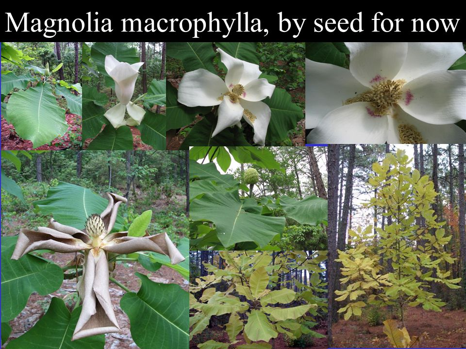 Magnolia macrophylla, by seed for now