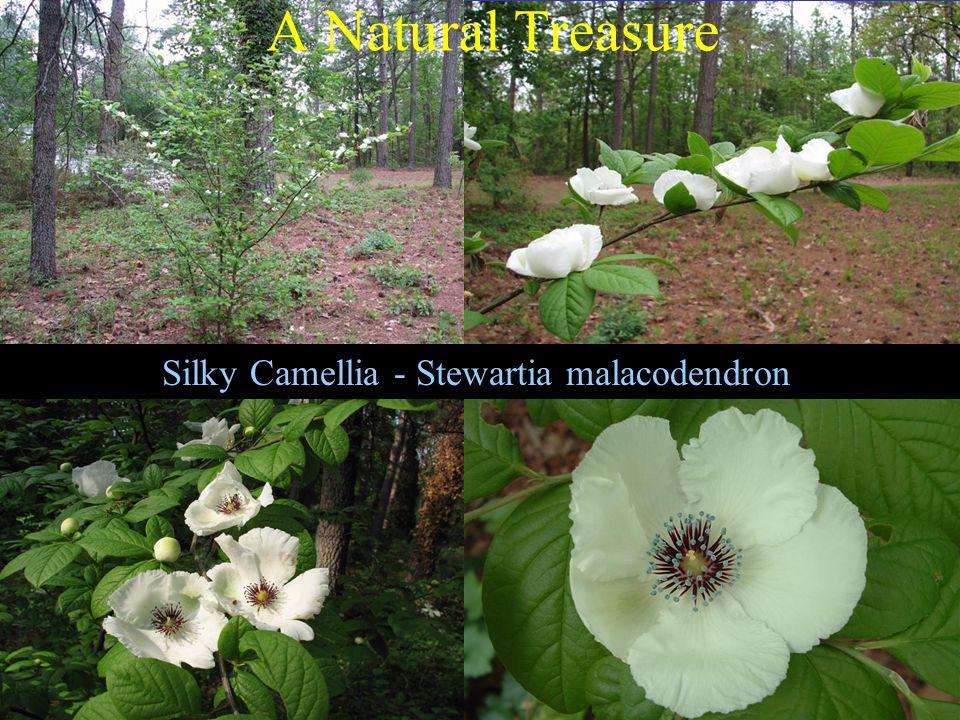 Silky Camellia - Stewartia malacodendron A Natural Treasure