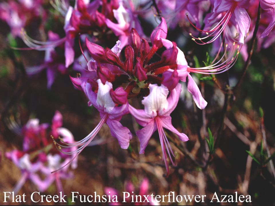 Flat Creek Fuchsia Pinxterflower Azalea