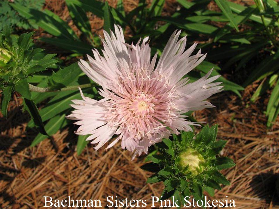 Bachman Sisters Pink Stokesia