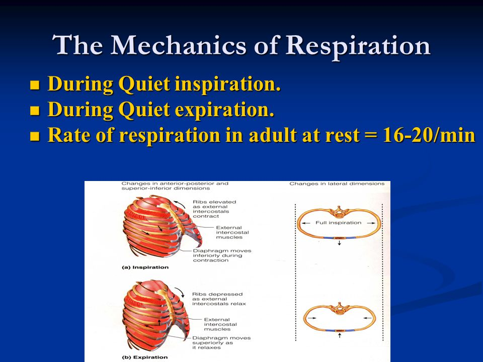 The Mechanics of Respiration During Quiet inspiration. During Quiet inspiration. During Quiet expiration. During Quiet expiration. Rate of respiration