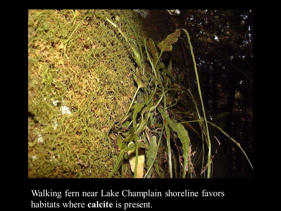 Walking fern near Lake Champlain shoreline favors habitats where calcite is present.
