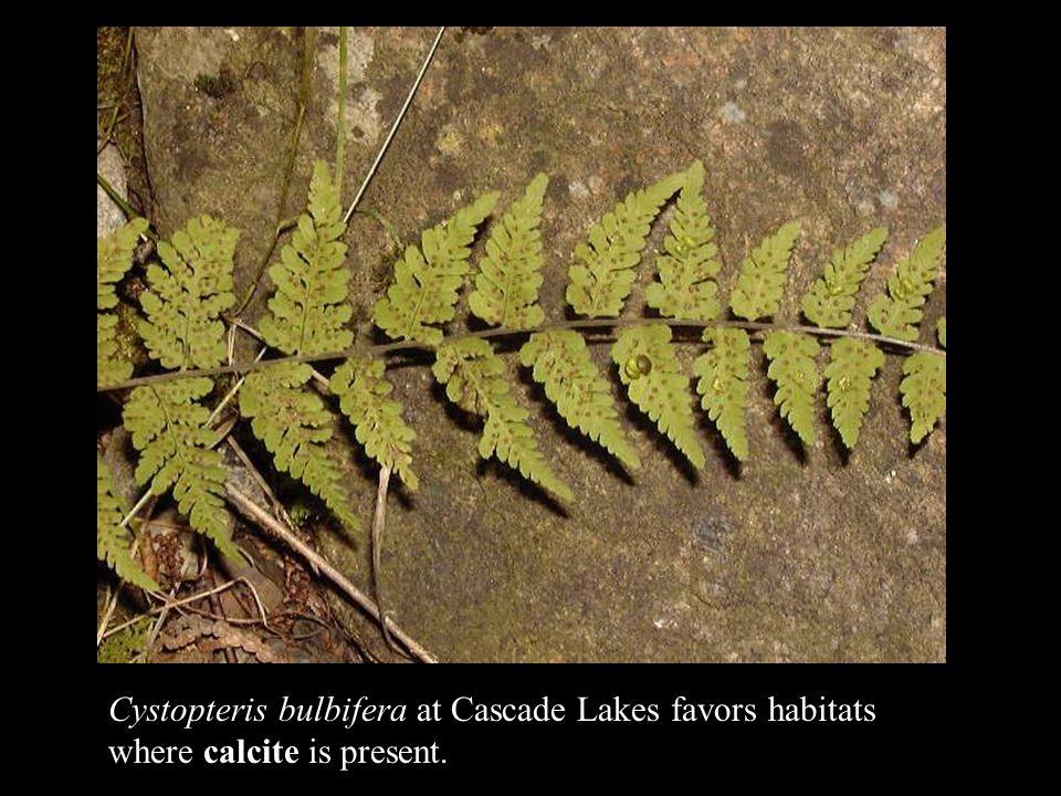 Cystopteris bulbifera at Cascade Lakes favors habitats where calcite is present.