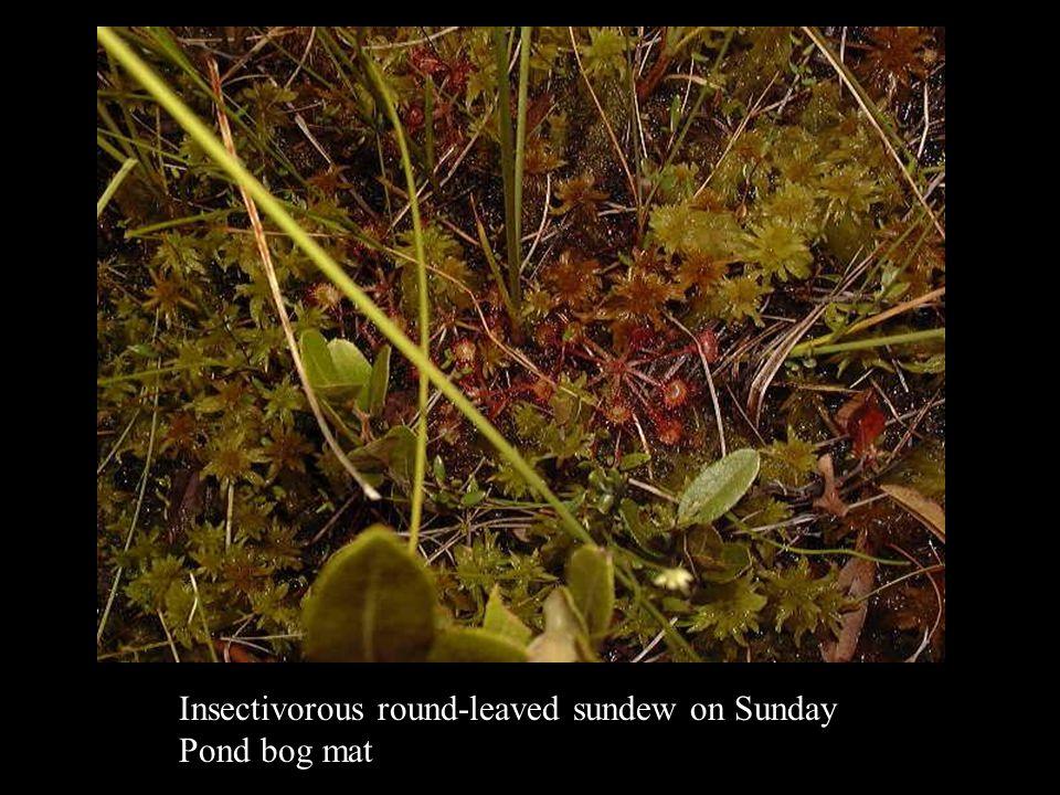 Insectivorous round-leaved sundew on Sunday Pond bog mat