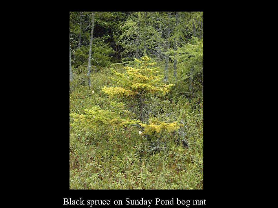 Black spruce on Sunday Pond bog mat