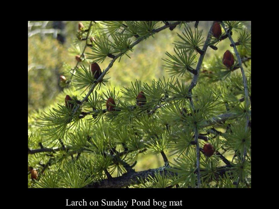 Larch on Sunday Pond bog mat