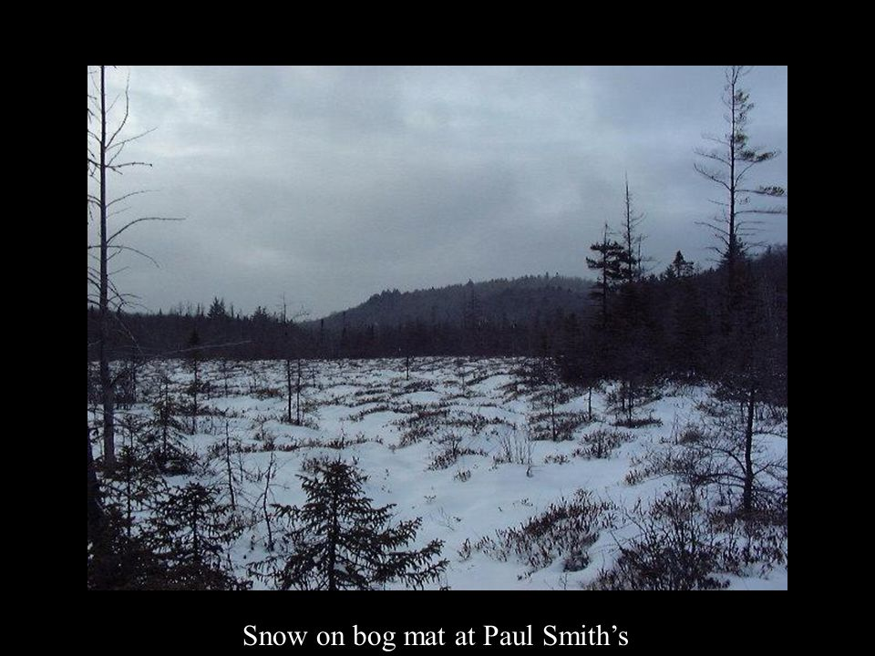 Snow on bog mat at Paul Smith's