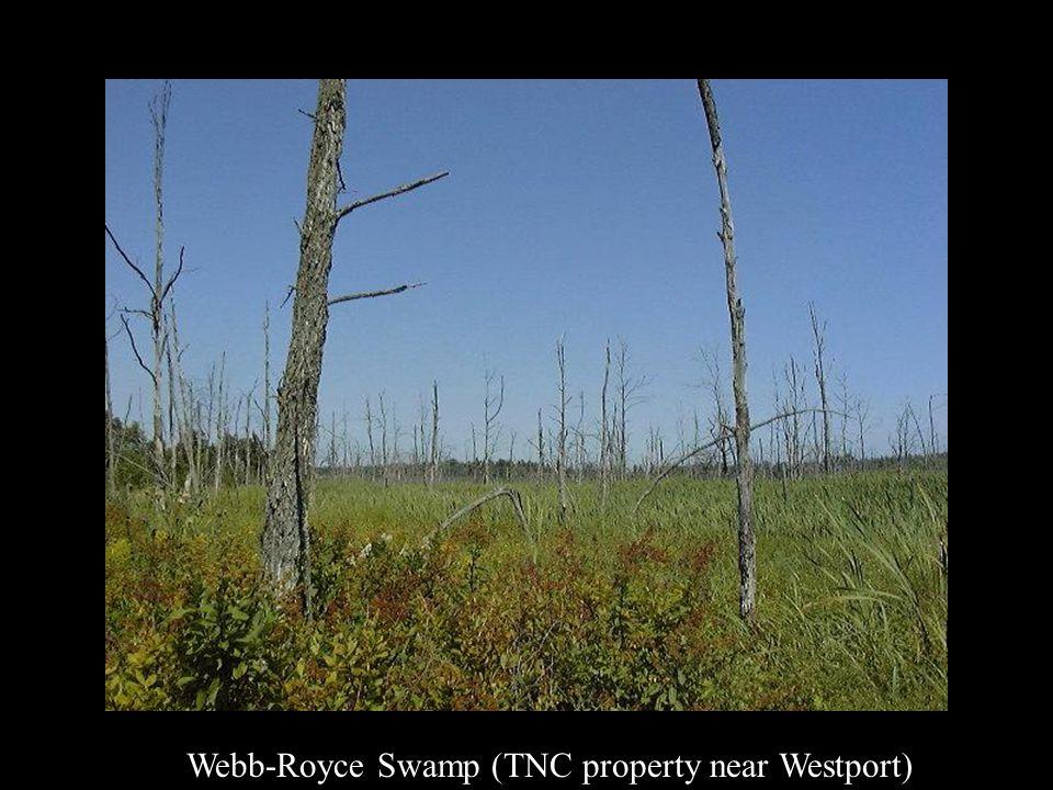Webb-Royce Swamp (TNC property near Westport)