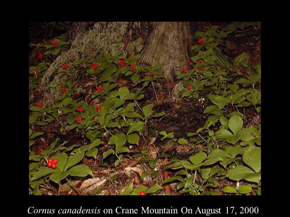 Cornus canadensis on Crane Mountain On August 17, 2000