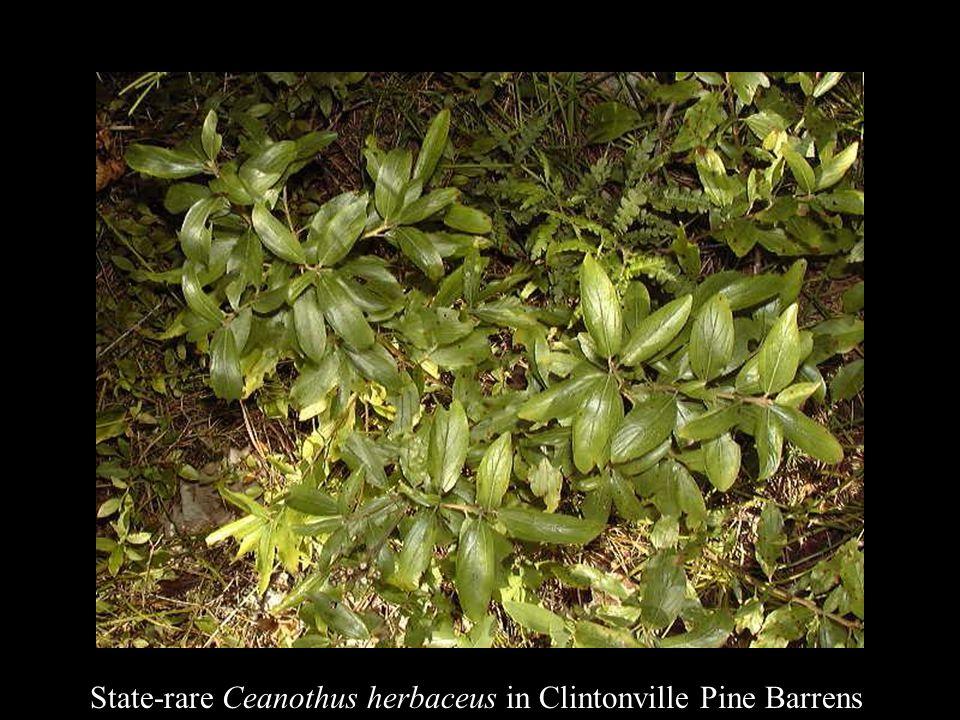 State-rare Ceanothus herbaceus in Clintonville Pine Barrens