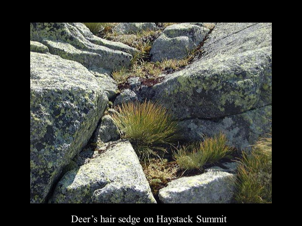 Deer's hair sedge on Haystack Summit