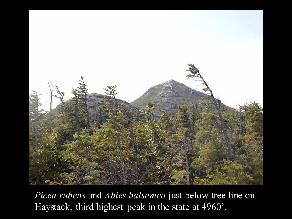 Picea rubens and Abies balsamea just below tree line on Haystack, third highest peak in the state at 4960'.
