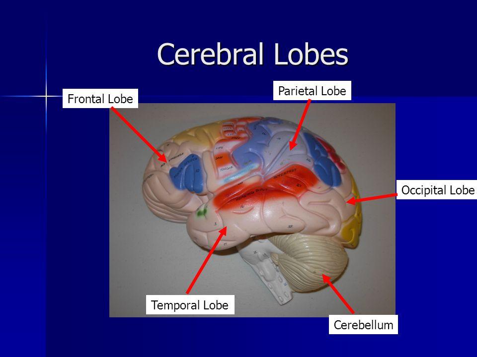 Cerebral Lobes Frontal Lobe Temporal Lobe Cerebellum Parietal Lobe Occipital Lobe
