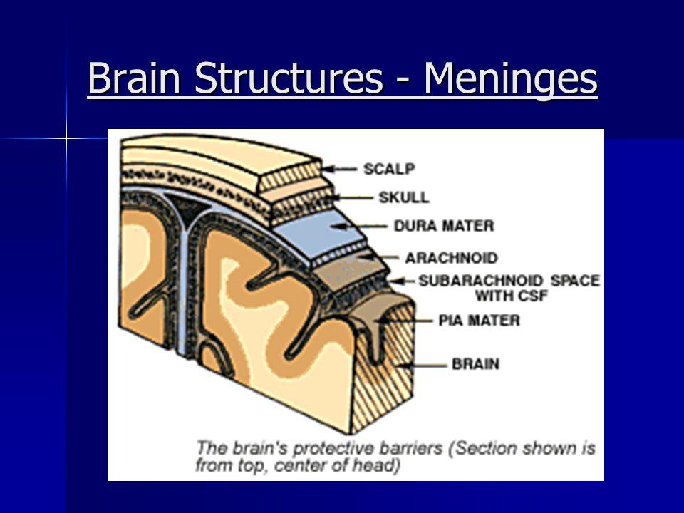 Brain Structures - Meninges