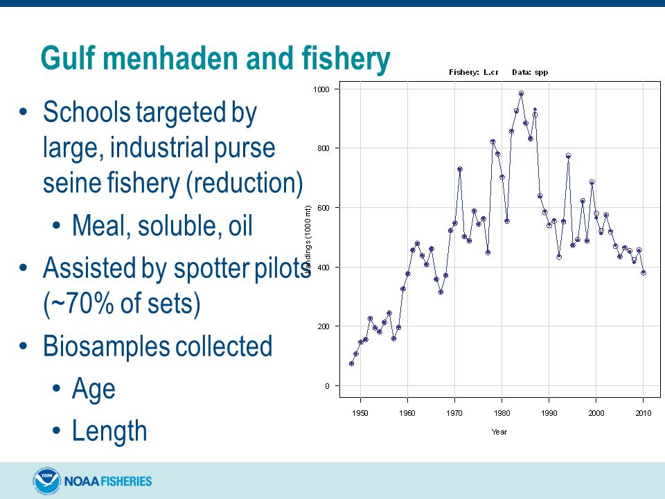 Gulf menhaden and fishery Schools targeted by large, industrial purse seine fishery (reduction) Meal, soluble, oil Assisted by spotter pilots (~70% of sets) Biosamples collected Age Length
