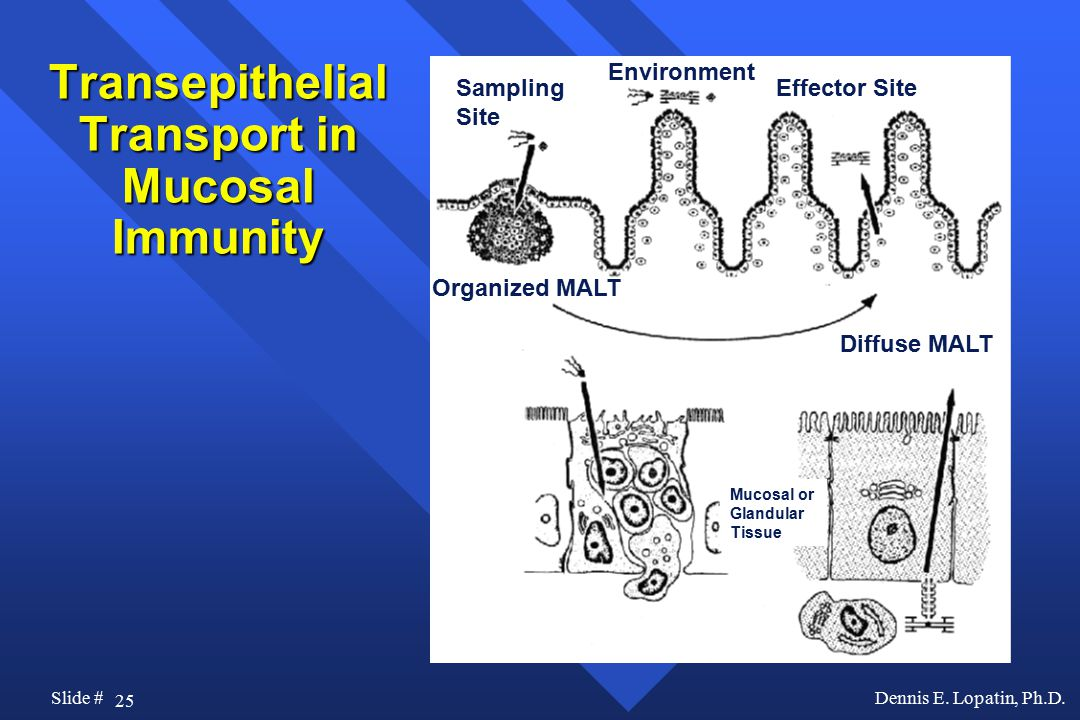 25 Slide #Dennis E. Lopatin, Ph.D. Transepithelial Transport in Mucosal Immunity Sampling Site Environment Effector Site Diffuse MALT Organized MALT M