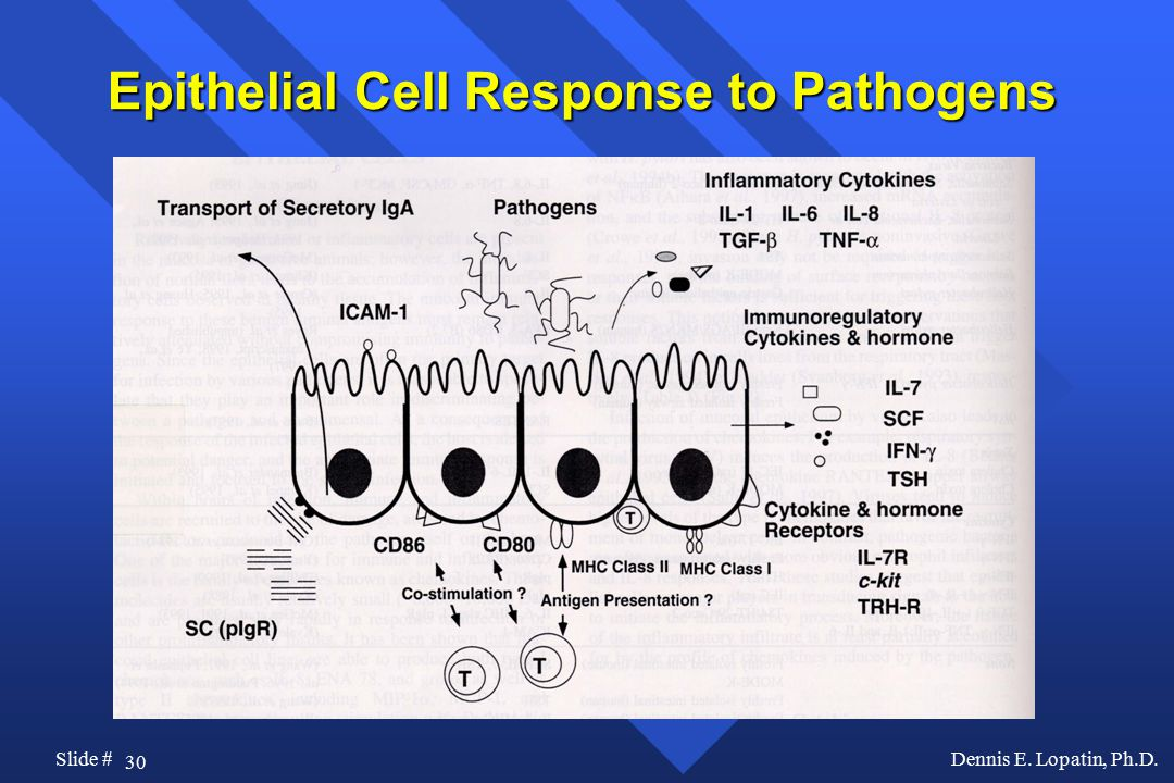30 Slide #Dennis E. Lopatin, Ph.D. Epithelial Cell Response to Pathogens