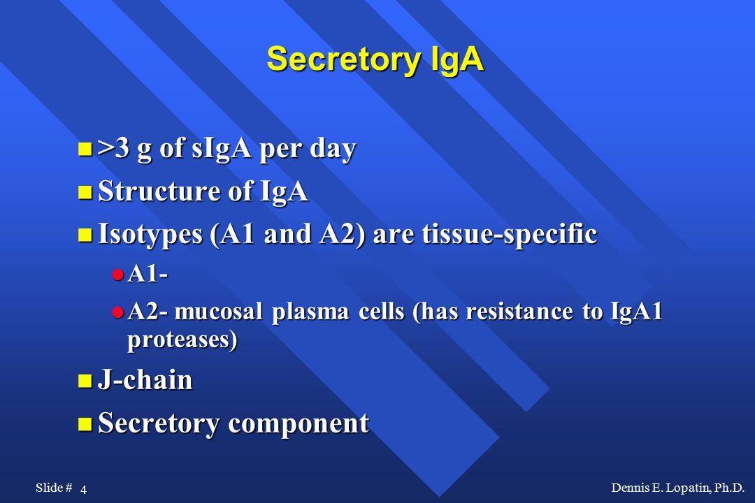 4 Slide #Dennis E. Lopatin, Ph.D. Secretory IgA >3 g of sIgA per day >3 g of sIgA per day Structure of IgA Structure of IgA Isotypes (A1 and A2) are t