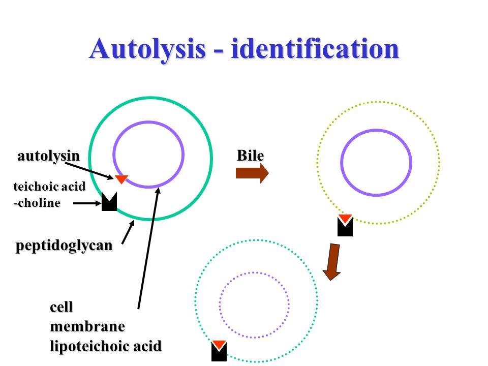 Autolysis - identification Bile peptidoglycan cellmembrane lipoteichoic acid teichoic acid -choline autolysin