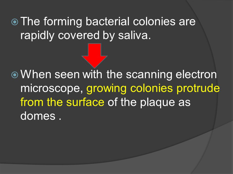  The forming bacterial colonies are rapidly covered by saliva.  When seen with the scanning electron microscope, growing colonies protrude from the