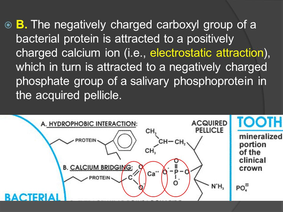  B. The negatively charged carboxyl group of a bacterial protein is attracted to a positively charged calcium ion (i.e., electrostatic attraction), w
