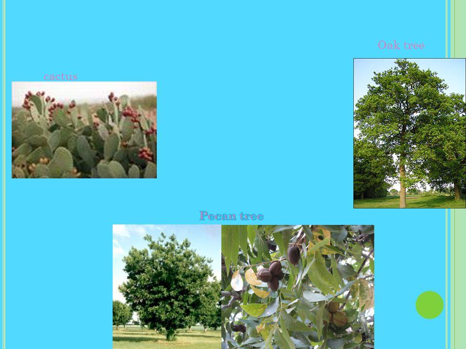 cactus Oak tree