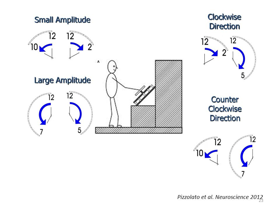 23 Small Amplitude Large Amplitude Clockwise Direction Counter Clockwise Direction Pizzolato et al. Neuroscience 2012