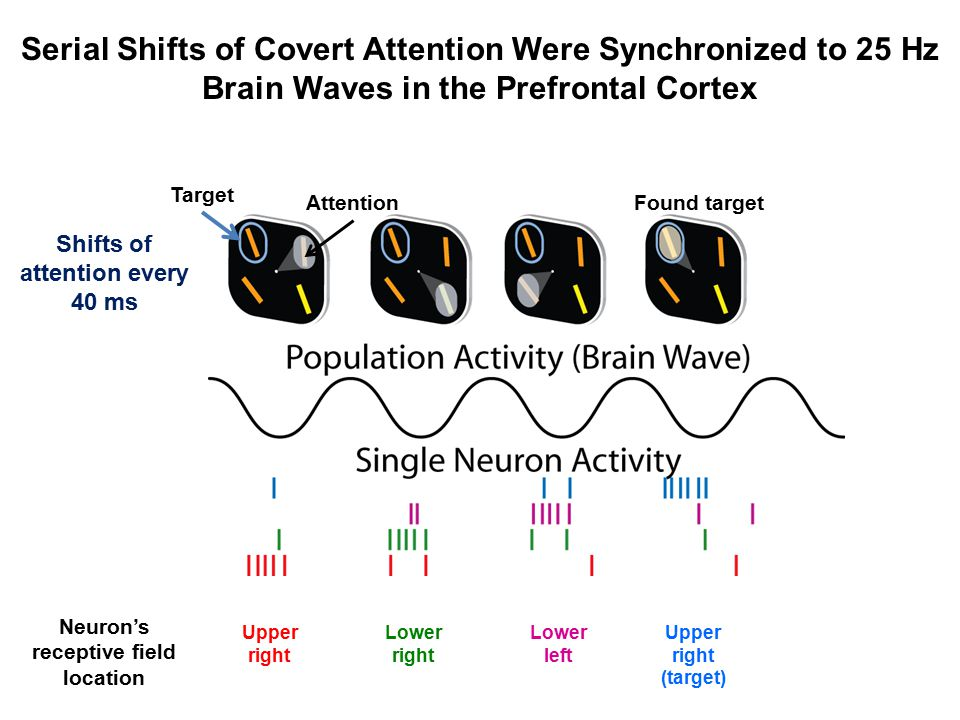 Serial Shifts of Covert Attention Were Synchronized to 25 Hz Brain Waves in the Prefrontal Cortex Neuron's receptive field location Upper right Lower right Lower left Upper right (target) Shifts of attention every 40 ms Target AttentionFound target
